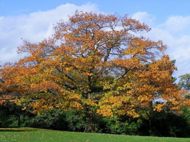 Красный дуб (Quercus rubra)