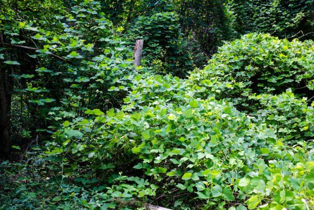 Пуэрария дольчатая, или Кудзу (Pueraria montana var. lobata)