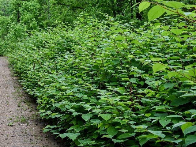Рейнутрия японская, или Горец сахалинский (Reynoutria japonica)
