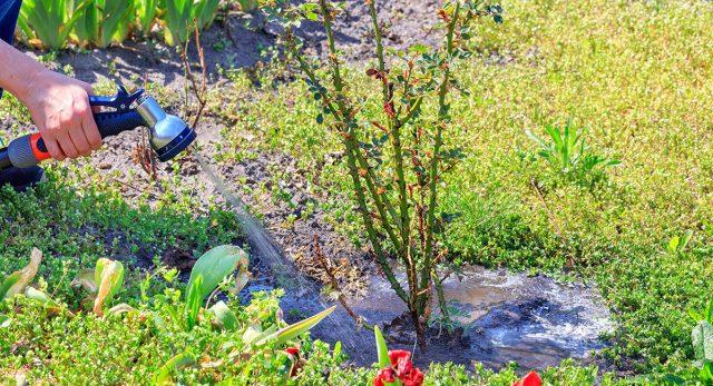 Наполнение водой приствольной лунки вокруг растения