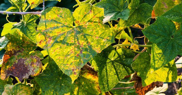 Следы поражения на листьях