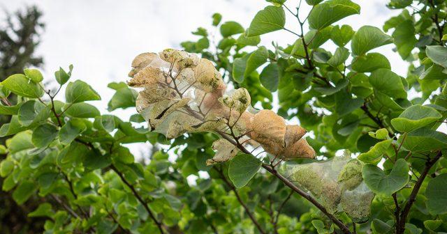 Пораженная ветка дерева
