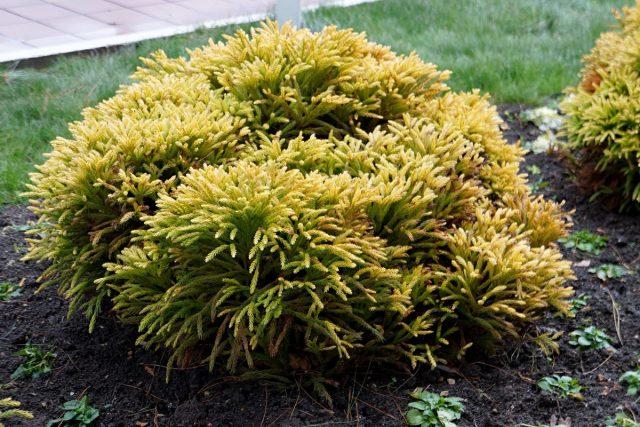 Туя западная «Голден Таффет» (Thuja occidentalis 'Golden Tuffet')