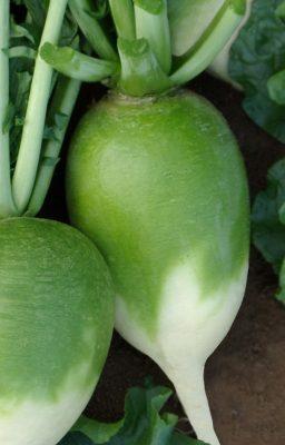 Сорт редьки-лобы «Хозяюшка»