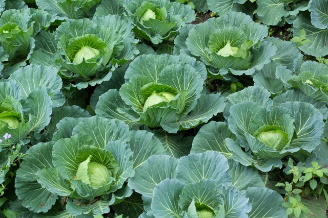 Выращиваем капусту правильно