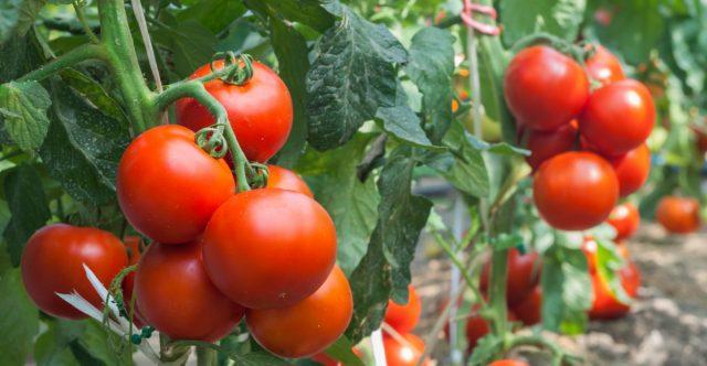 Как получить большой урожай томатов
