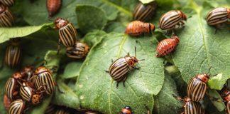 Защита картофеля от колорадского жука и болезней