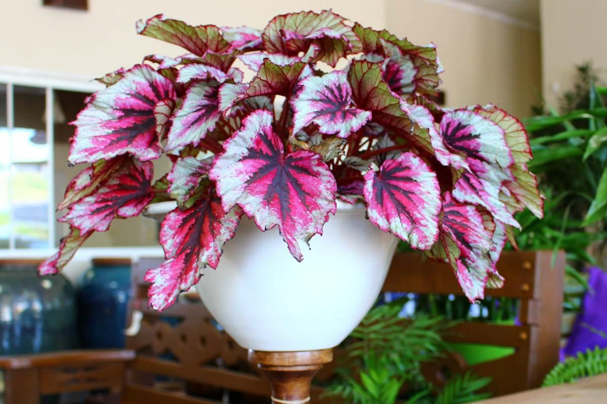 Бегония королевская — удивительно декоративные листья