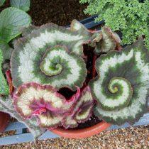 Бегония рекс, или Бегония королевская (Begonia rex), сорт «Эскарго» (Escargot)