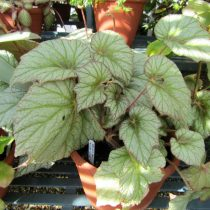 Бегония рекс, или Бегония королевская (Begonia rex), сорт «Сильвер Клауд» (Silver Cloud)