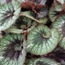 Бегония рекс, или Бегония королевская (Begonia rex), сорт «Рокхарт» (Rocheart)