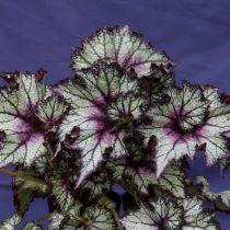 Бегония рекс, или Бегония королевская (Begonia rex), сорт «Май Бэст Фрэнд» (My Best Friend)