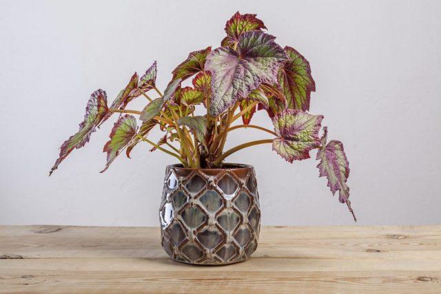 Бегония рекс, или Бегония королевская (Begonia rex), сорт «Файерворкс» (Fireworks)