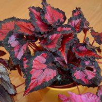 Бегония рекс, или Бегония королевская (Begonia rex), сорт «Инка Найт» (Inca Night)