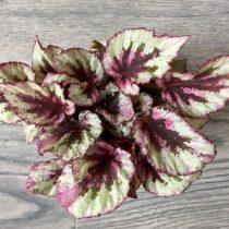Бегония рекс, или Бегония королевская (Begonia rex), сорт «Ивнинг Глоу» (Evening Glow)