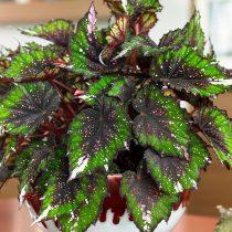 Бегония рекс, или Бегония королевская (Begonia rex), сорт «Билиф Африкан Джангл» (Beleaf African Jungle)