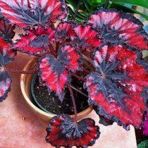 Бегония рекс, или Бегония королевская (Begonia rex), сорт «Рэд Робин» (Red Robin)
