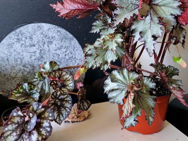 Бегонии теряют декоративность, сбрасывают листья, теряют компактность при потребности в омоложении