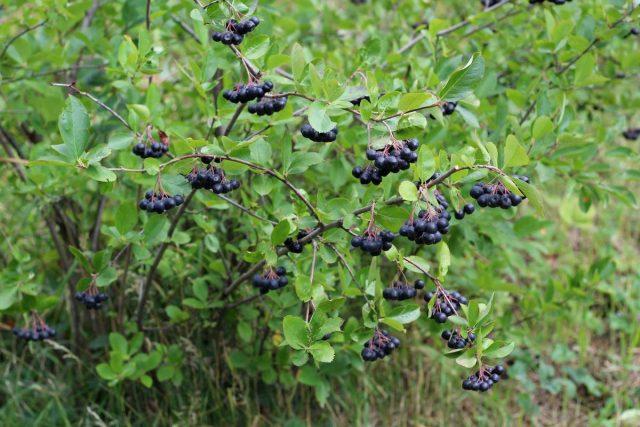 Рябина черноплодная, или Арония черноплодная, или Черная рябина (Aronia melanocarpa)