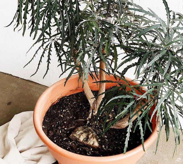 Дизиготеки предпочитают расти в простых и легких субстратах