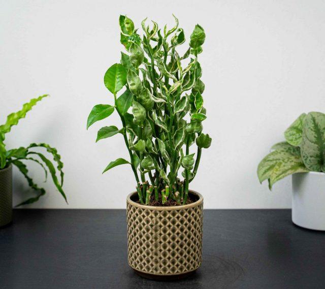 Молочай титималоидный (Euphorbia tithymaloides), или Педилантус титималоидный (Pedilanthus tithymaloides)