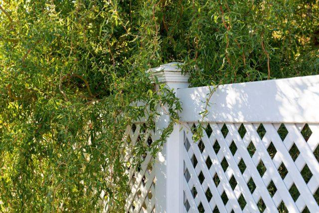 Иву Матсудана можно выращивать в группах, изгородях, массивах, имитациях зарослей