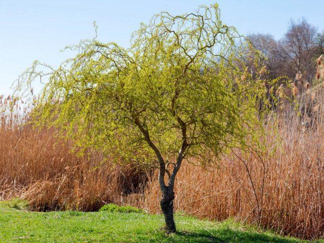 Ива Матсудана — ажурная красавица для вашего сада