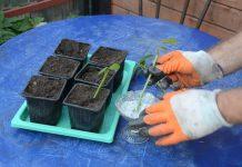 Обрабатываем нижнюю часть черенка корнестимулирующим препаратом. В грунте делаем небольшие лунки и высаживаем черенки под наклоном примерно 45°.