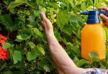 Как ухаживать за виноградом летом?