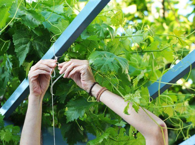 Постепенная подвязка— ключ к здоровому винограду и оптимальному развитию лозы.