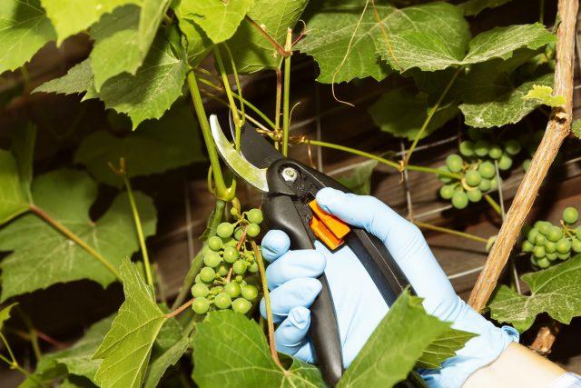 Обрезка винограда— почти самое сложное