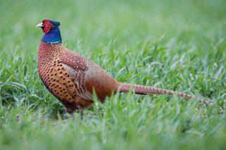 Обыкновенный (кавказский) фазан