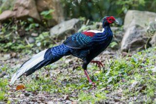 Свайно, или Тайваньский фазан