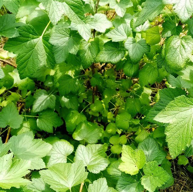 Листья и молодые побеги чёрной смородины — кладезь полезных веществ!