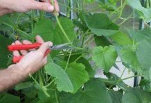 Продолжаем формировать огурцы: какие листья, пасынки, усы удалять