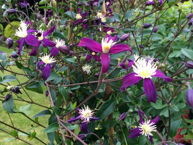 Клематис ароматный (Clematis aromatica)