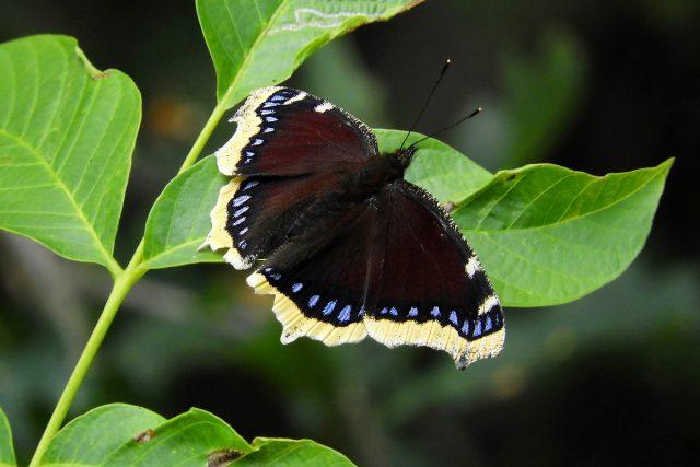 Бабочка Траурница (Nymphalis antiopa)