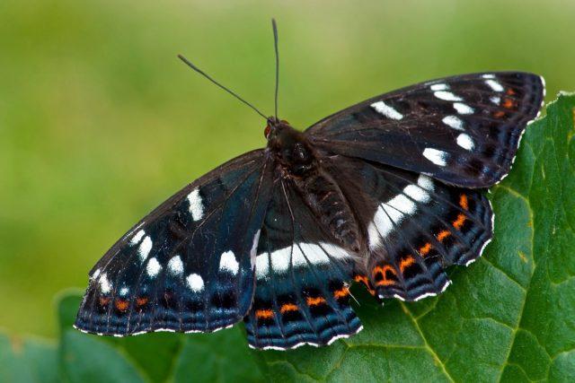 Бабочка Ленточник тополёвый (Limenitis populi)