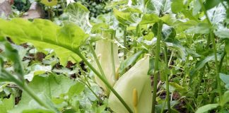 Удивительные аронники — какие бывают и как выращивать?