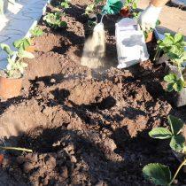Внесите в каждую лунку по 1 ст. ложке фосфорно-калийных удобрений. Затем добавьте по 2 ст. ложки золы или доломитовой муки.