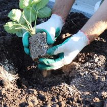 Извлеките из горшочков укоренившиеся кустики и поместите в лунки. Аккуратно засыпьте высаженные растения грунтом.