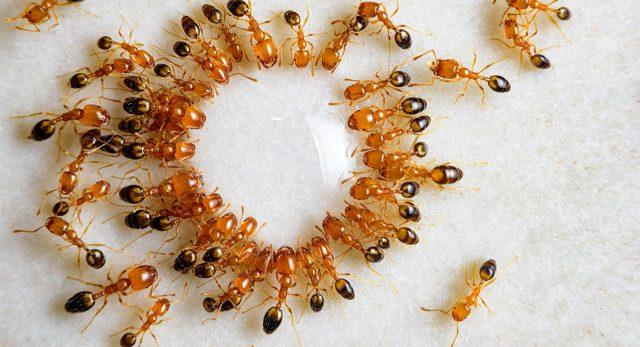 Cómo deshacerse de las hormigas rojas en un apartamento.