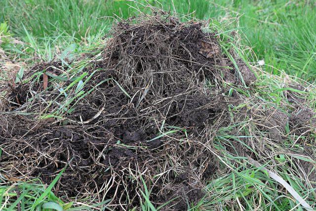 Надежнее отказаться от внесения свежих корней пырея в компост