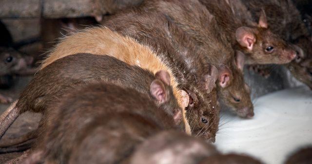 Крысы являются распространенной проблемой в хозяйствах, особенно огородных