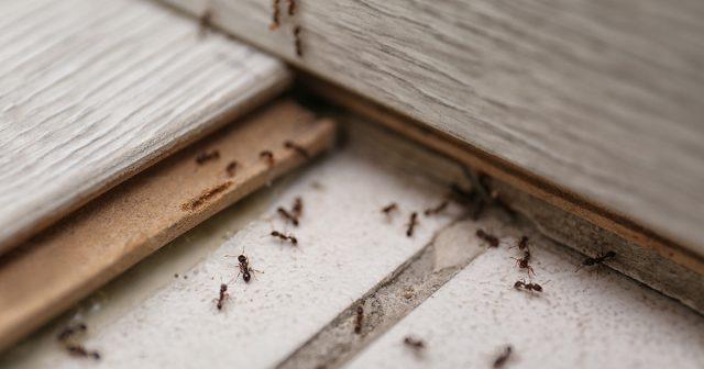 Las hormigas pueden penetrar fácilmente cualquier hendidura y grieta.