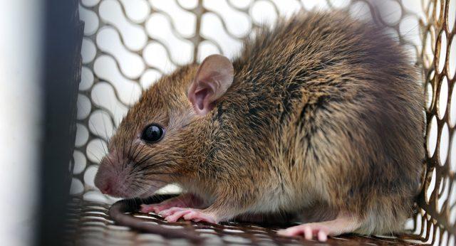 Крыса в крысоловке