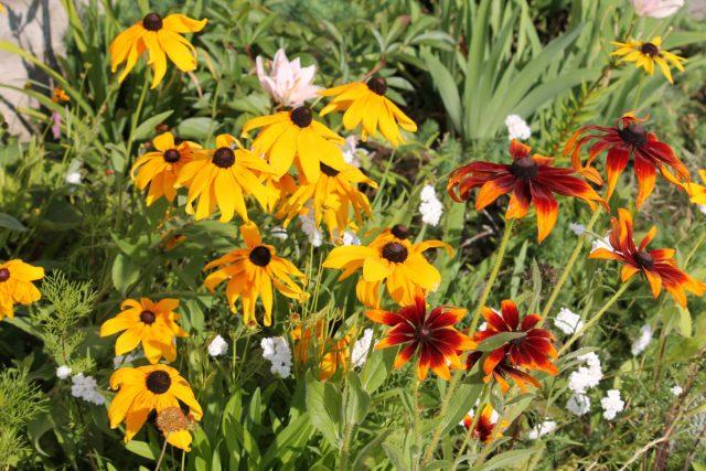 Rudbeckia floreciente en verano