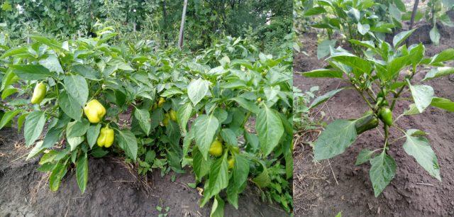 Выращивание под укрытие и без