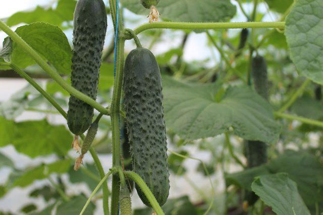 Гибрид огурца «Форсаж F1» имеет генетическую устойчивость к мучнистой росе