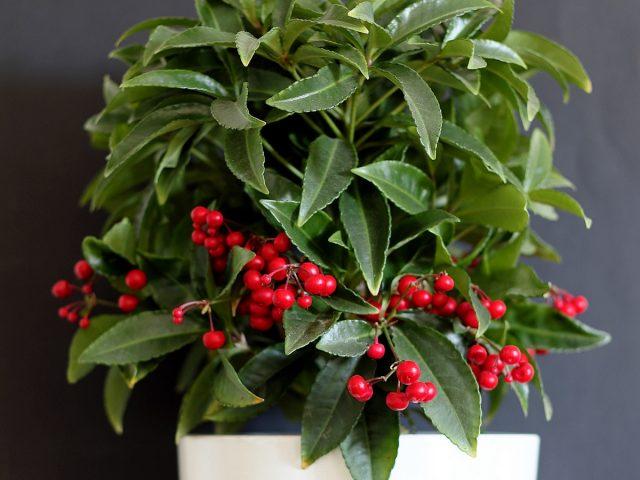 Ardisia: ¿cómo cultivar fresno de montaña en interiores?